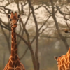 Kenya: African Giraffe Cam